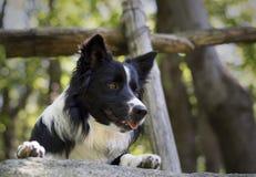 Sluit omhoog van een border collie-puppy onder een houten omheining Royalty-vrije Stock Afbeeldingen