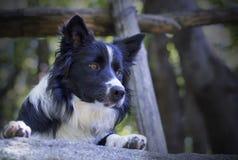 Sluit omhoog van een border collie-puppy onder een houten omheining Royalty-vrije Stock Afbeelding