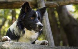 Sluit omhoog van een border collie-puppy onder een houten omheining Royalty-vrije Stock Foto's