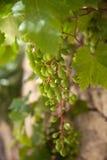 Sluit omhoog van een bos van druiven Royalty-vrije Stock Fotografie