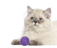 Sluit omhoog van een Brits Longhair katje met purpere bal, 5 maanden Royalty-vrije Stock Foto's