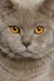 Sluit omhoog van een Britse shorthair (10 maanden oud) Royalty-vrije Stock Foto's