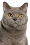 Sluit omhoog van een Britse shorthair (10 maanden oud) Stock Afbeeldingen