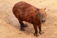 Sluit omhoog van een Capybara Royalty-vrije Stock Fotografie
