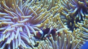 Sluit omhoog van een clownfish en een anemoon stock footage
