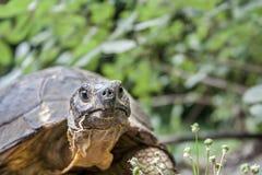 Sluit omhoog van een de schildpadhoofd van Hermann ` s op groene achtergrond Stock Foto's