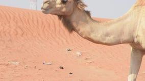 Sluit omhoog van een dromedarius van Camelus van de dromedariskameel in de duinen van het woestijnzand van de V.A.E dichtbij Ghaf stock video