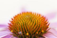 Sluit omhoog van een Echinacea-bloem Royalty-vrije Stock Foto
