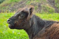 Sluit omhoog van een expressieve weidende koe Stock Fotografie