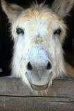 Sluit omhoog van een ezel Royalty-vrije Stock Foto's