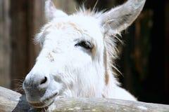 Sluit omhoog van een ezel Royalty-vrije Stock Afbeeldingen