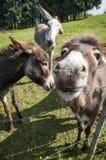 Sluit omhoog van een ezelssnuit Royalty-vrije Stock Fotografie