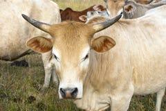 Sluit omhoog van een gehoornde koe Stock Foto's