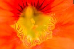 Sluit omhoog van een een gekleurd rood, sinaasappel en geel van de Oostindische kersbloem Vormt een gezicht stock foto's