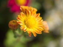 Sluit omhoog van een gele Chrysantenbloem Stock Fotografie
