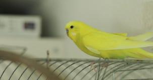 Sluit omhoog van een gele golvende papegaaizitting op een kooi thuis stock video