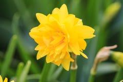 Sluit omhoog van een Gele narcis Stock Foto's