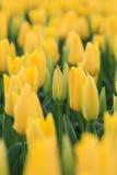 Sluit omhoog van een gele tulp Stock Afbeeldingen