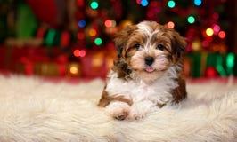 Sluit omhoog van een gelukkig puppy van Kerstmishavanese stock foto