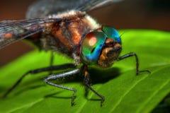 Sluit omhoog van een gemeenschappelijke darterlibel in hdr stock afbeelding
