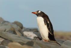 Sluit omhoog van een Gentoo-pinguïn die zich op rotsen bevinden stock fotografie