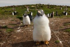 Sluit omhoog van een Gentoo-pinguïnkuiken, Falkland Eilanden stock fotografie