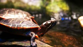 Sluit omhoog van een Geschilderde Schildpad stock footage