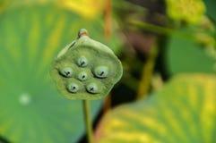 Sluit omhoog van een Gestorven Japanse Waterlelie stock fotografie
