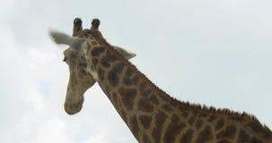 Sluit omhoog van een giraf stock video