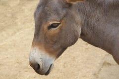 Sluit omhoog van een grijze ezel op aardachtergrond Stock Fotografie