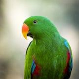 Sluit omhoog van een groene mannelijke papegaai van Eclectus Roratus Stock Foto