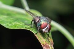 Sluit omhoog van een groene vlieg op een groen blad, is de Vlieg drager van diarree Stock Foto's