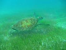 Sluit omhoog van een Groene Zeeschildpad die (Chelonia-mydas) over Seagrass in Zonovergoten, Ondiepe Caraïbische Zeeën zwemmen. stock foto's