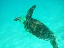 Sluit omhoog van een Groene Zeeschildpad die (Chelonia-mydas) in Zonovergoten, Ondiepe Caraïbische Zeeën zwemmen. stock afbeeldingen