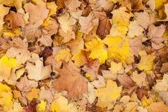 Sluit omhoog van een groep de herfstbladeren. Stock Afbeelding