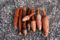Sluit omhoog van een groep denneappels door eekhoorns worden gegeten die royalty-vrije stock afbeelding