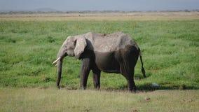 Sluit omhoog van een Grote Afrikaanse die Olifant half met Zwart Modder Weidend Gras wordt gesmeerd stock video