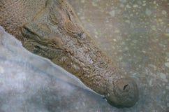 Sluit omhoog van een grote oude krokodil die in het duidelijke water bij het krokodillandbouwbedrijf sluimeren Mening van hierbov stock fotografie