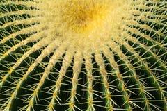 Sluit omhoog van een grusonii van cactusechinocactus Stock Afbeelding