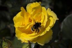 Sluit omhoog van een heldere gele bloem met een bij op het royalty-vrije stock afbeelding