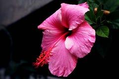 Sluit omhoog van een Hibiscusbloem Stock Afbeelding