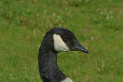 Sluit omhoog van een hoofd van Canada Gooses Royalty-vrije Stock Afbeelding
