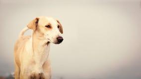 Sluit omhoog van een Indische witte hond royalty-vrije stock afbeeldingen