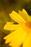 Sluit omhoog van een Insect op Daisy Flower tijdens de Lente Royalty-vrije Stock Afbeeldingen