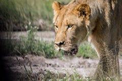 Sluit omhoog van een jonge mannelijke leeuw royalty-vrije stock afbeeldingen