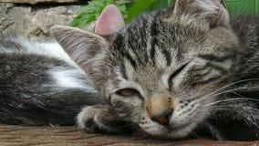 Sluit omhoog van een jonge vermoeide kat stock videobeelden