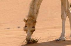 Sluit omhoog van een kameel royalty-vrije stock afbeelding
