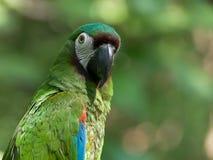 Sluit omhoog van een kastanje op uitgezien ara in Ecuador stock afbeeldingen