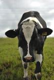 Sluit omhoog van een koe Royalty-vrije Stock Foto