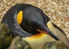 Sluit omhoog van een Koning Penguin stock fotografie